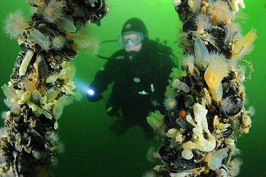 Blue Mussel (Mytilus edulis) cultures and diver, Bruinisse, Netherlands  -  Ron Offermans/ Buiten-beeld