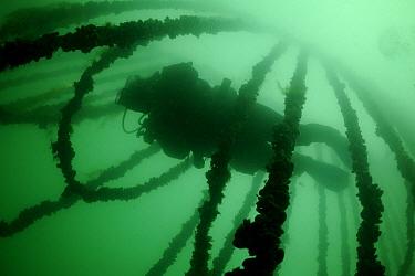 Blue Mussel (Mytilus edulis) cultures and diver, Neeltje Jans, Netherlands  -  Ron Offermans/ Buiten-beeld