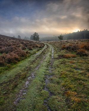 Heather (Calluna vulgaris) field with path, Doorwerth, Netherlands  -  Bendiks Westerink/ Buiten-beeld
