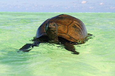 Aldabra Giant Tortoise (Aldabrachelys gigantea) swimming near coast, Seychelles  -  Wil Meinderts/ Buiten-beeld