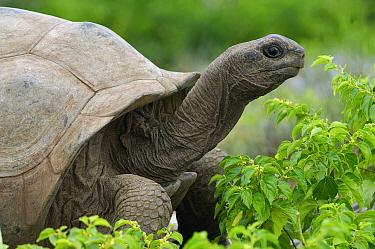 Aldabra Giant Tortoise (Aldabrachelys gigantea), Seychelles  -  Wil Meinderts/ Buiten-beeld