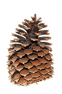 Pine (Pinus sp) cone, Broek op Langedijk, Netherlands  -  Jelger Herder/ Buiten-beeld