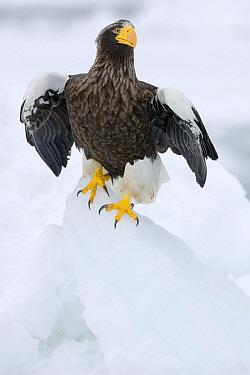 Steller's Sea Eagle (Haliaeetus pelagicus) on ice floe, Rausu, Japan  -  Chris Schenk/ Buiten-beeld