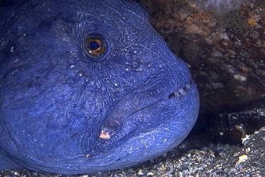 Atlantic Wolffish (Anarhichas lupus), Egersund, Norway  -  Ron Offermans/ Buiten-beeld