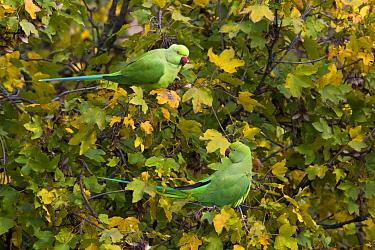 Rose-ringed Parakeet (Psittacula krameri) pair, Florence, Italy  -  Daniele Occhiato/ Buiten-beeld