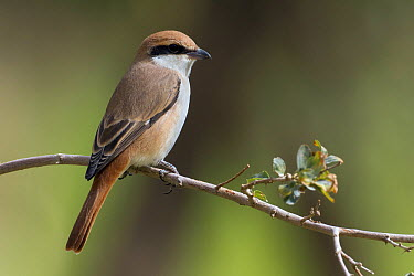 Rufous-tailed Shrike (Lanius isabellinus), Kuwait  -  Daniele Occhiato/ Buiten-beeld