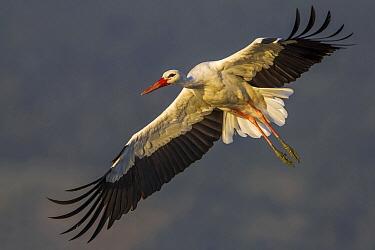 White Stork (Ciconia ciconia) flying, Florence, Italy  -  Daniele Occhiato/ Buiten-beeld