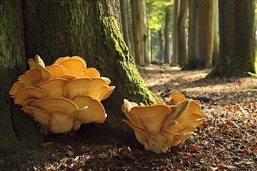Mushroom (Meripilus giganteus) pair on tree trunk, Lochem, Netherlands  -  Dick Pasman/ Buiten-beeld