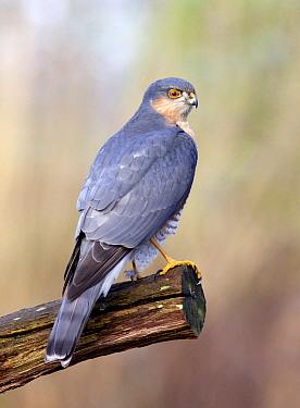 Eurasian Sparrowhawk (Accipiter nisus) male, Rijssen, Netherlands  -  Arjan Troost/ Buiten-beeld