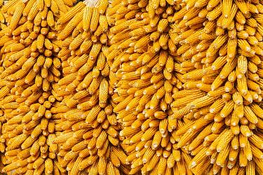 Maize (Zea mays) cobs drying at farm, Shilin, China  -  Chris Stenger/ Buiten-beeld