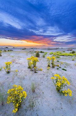 Stinking Willie (Senecio jacobaea) flowering in sand dunes, Stellendam, Netherlands  -  Nico van Kappel/ Buiten-beeld