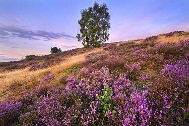 Heather (Calluna vulgaris) flowering, Veluwezoom National Park, Netherlands  -  Nico van Kappel/ Buiten-beeld