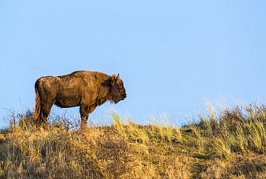 European Bison (Bison bonasus) on sand dune, Overveen, Netherlands  -  Nico van Kappel/ Buiten-beeld