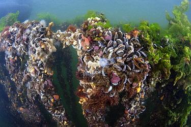 Blue Mussel (Mytilus edulis) cultures, Oosterschelde National Park, Netherlands  -  Peter Verhoog/ Buiten-beeld