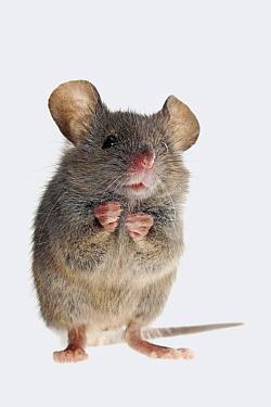 House Mouse (Mus musculus), Nieuwegein, Netherlands  -  Jelger Herder/ Buiten-beeld
