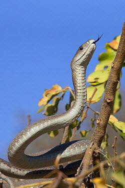 Black Mamba (Dendroaspis polylepis) climbing tree, Kruger National Park, South Africa  -  Jelger Herder/ Buiten-beeld