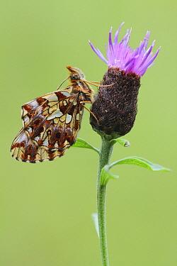 Weaver's Fritillary (Clossiana dia) butterfly, France  -  Johannes van Donge/ Buiten-beeld