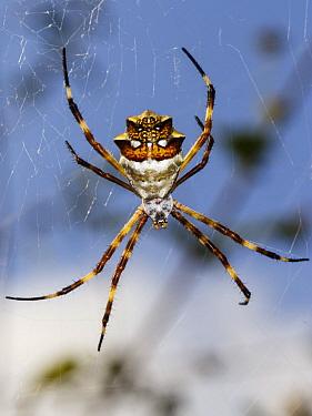 Silver Argiope (Argiope argentata) female in web, Curacao, Caribbean  -  Jaap Schelvis/ Buiten-beeld