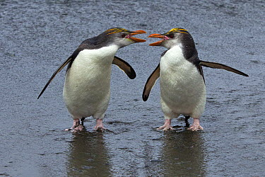 Royal Penguin (Eudyptes schlegeli) pair fighting, Macquarie Island, Australia  -  Otto Plantema/ Buiten-beeld