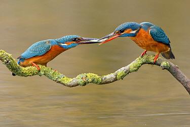 Common Kingfisher (Alcedo atthis) giving fish to partner, Nunspeet, Netherlands  -  Ernst Dirksen/ Buiten-beeld