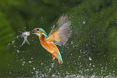 Common Kingfisher (Alcedo atthis) emerging from water with caught fish, Nunspeet, Netherlands  -  Ernst Dirksen/ Buiten-beeld