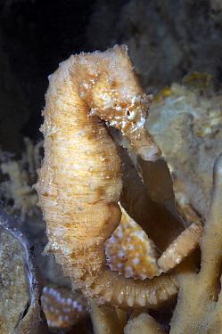 Short-snouted Seahorse (Hippocampus hippocampus), Oosterschelde National Park, Netherlands  -  Peter Verhoog/ Buiten-beeld
