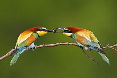 European Bee-eater (Merops apiaster) male offering prey to female, Bulgaria  -  Otto Plantema/ Buiten-beeld