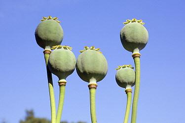 Opium Poppy (Papaver somniferum) seed heads in nursery, Diepenveen, Netherlands  -  Sjon Heijenga/ Buiten-beeld