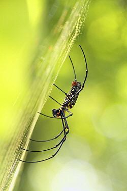 Golden Orb-web Spider (Nephila pilipes) in web, Malaysia  -  Jordi Strijdhorst/ Buiten-beeld