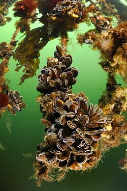 Blue Mussel (Mytilus edulis) cultures, Netherlands  -  Ron Offermans/ Buiten-beeld