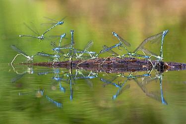 Azure Damselfly (Coenagrion puella) group laying eggs simultaneously, Rijssen, Netherlands  -  Arjan Troost/ Buiten-beeld