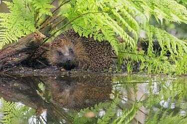 Brown-breasted Hedgehog (Erinaceus europaeus) reflected in water, Netherlands  -  Jan Dolfing/ Buiten-beeld