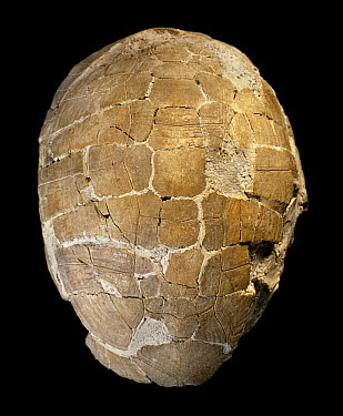 Tortoise (Testudo catalaunica)carapace fossil, holotype specimen, Seminary Museum of Geology, Barcelona, Spain  -  Albert Lleal