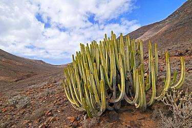 Canary Spurge (Euphorbia canariensis), Jandia Natural Reserve, Fuerteventura, Canary Islands  -  Albert Lleal