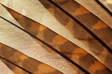 Eurasian Woodcock (Scolopax rusticola) feathers showing cryptic coloration  -  Albert Lleal