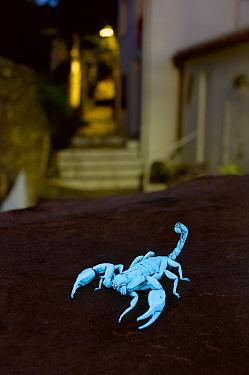 Scorpion (Euscorpius flavicaudis) showin fluorescence under ultraviolet light, Cadaques, Cap de Creus, Catalonia, Spain  -  Albert Lleal