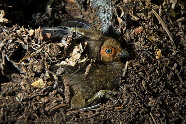 Australian Brush Turkey (Alectura lathami) three-day old chick after hatching underground and digging a chamber rests before heading to surface, Atherton Tableland, Queensland, Australia  -  D. Parer & E. Parer-Cook