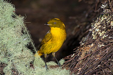 Golden Bowerbird (Prionodura newtoniana) male at bower decorated with lichen and flowers, Atherton Tableland, Queensland, Australia  -  D. Parer & E. Parer-Cook
