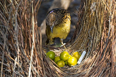 Western Bowerbird (Chlamydera guttata) male tending bower with decorations of green fruit, white chalk and metal wire, Alice Springs, Northern Territory, Australia  -  D. Parer & E. Parer-Cook