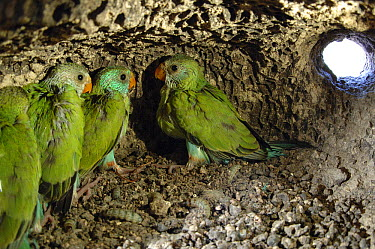 Golden-shouldered Parrot (Psephotus chrysopterygius) month-old chicks in termite mound nest, Cape York Peninsula, Queensland, Australia  -  D. Parer & E. Parer-Cook