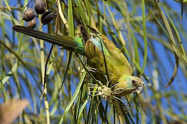 Golden-shouldered Parrot (Psephotus chrysopterygius) feeding on flower, Cape York Peninsula, Queensland, Australia  -  D. Parer & E. Parer-Cook