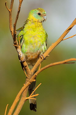 Golden-shouldered Parrot (Psephotus chrysopterygius) immature male perching, Cape York Peninsula, Queensland, Australia  -  D. Parer & E. Parer-Cook
