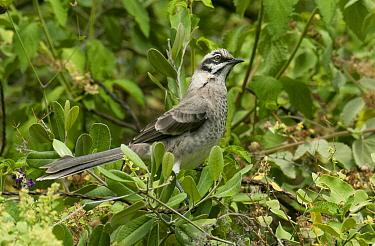 Long-tailed Mockingbird (Mimus longicaudatus), Chaparri Reserve, Peru  -  Kevin Schafer