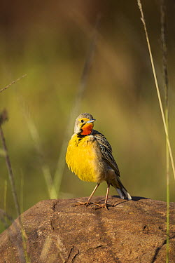 Yellow-throated Longclaw (Macronyx croceus), KwaZulu-Natal, South Africa  -  Richard Du Toit