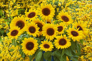 Sunflower (Helianthus sp) bouquet  -  Jan Vermeer