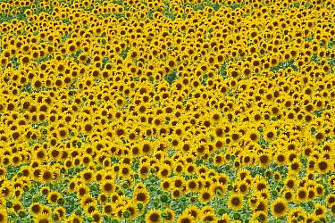Sunflower (Helianthus sp) field  -  Jan Vermeer