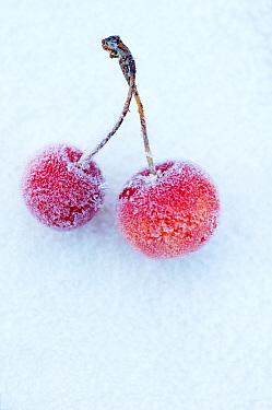 Cherry (Prunus sp) fruit covered with frost in winter  -  Jan Vermeer