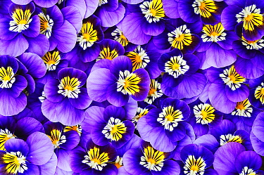 Violet (Viola sp) flowers  -  Jan Vermeer