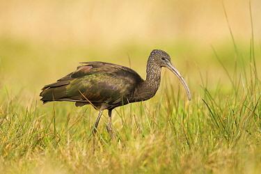 Glossy Ibis (Plegadis falcinellus), Drachten, Netherlands  -  Walter Soestbergen/ BIA
