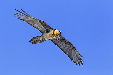Bearded Vulture (Gypaetus barbatus) flying, Wallis, Switzerland  -  Christine Jung/ BIA